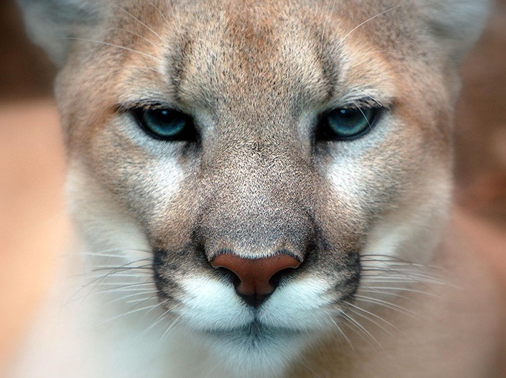Man Woman Stalked By Cougar In Sooke Hills