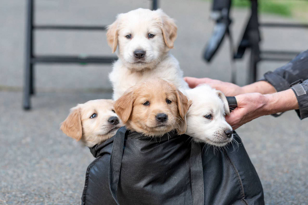 11 Golden Retriever Puppies Ready For Adoption From Victoria Humane Society Sooke News Mirror