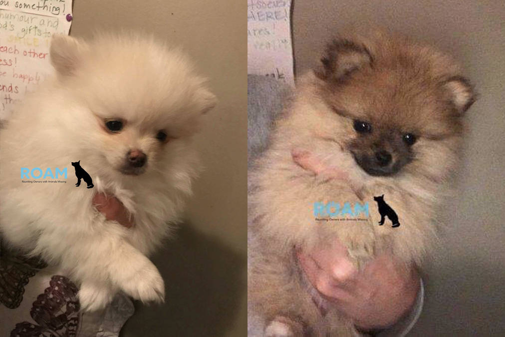 Two Pomeranian Puppies Reported Stolen From Langford Home Sooke