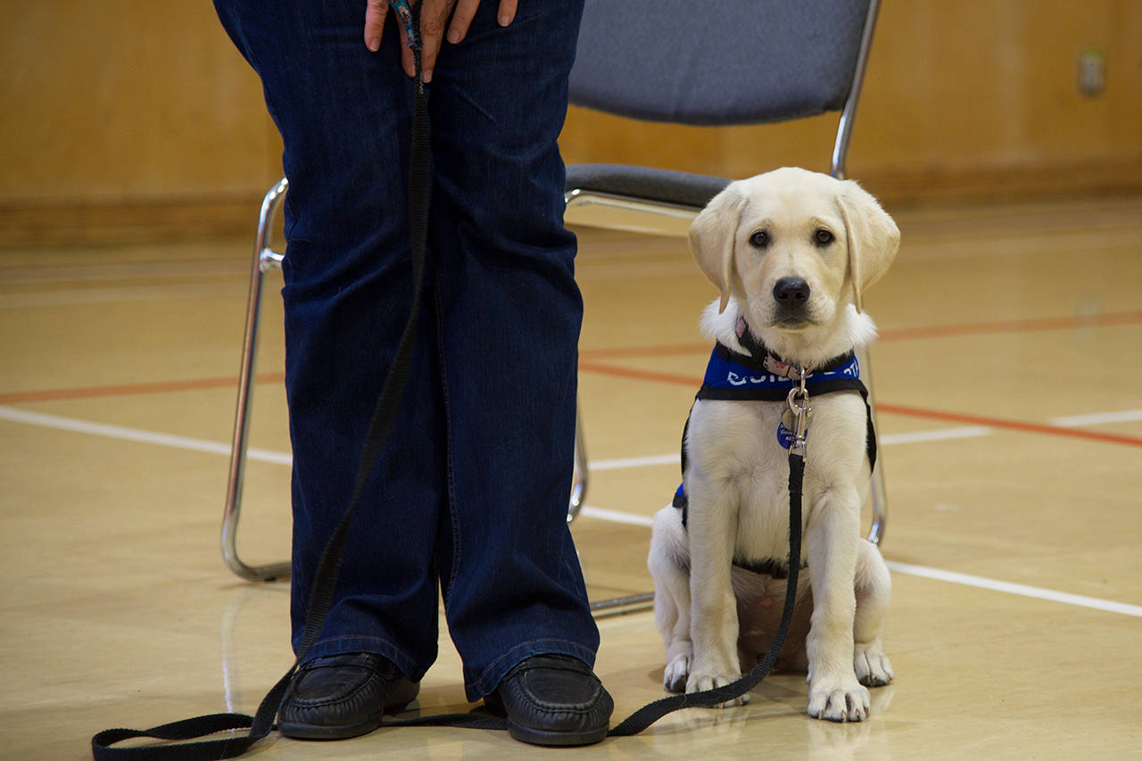 WATCH: BC Guide Dogs needs puppy training volunteers